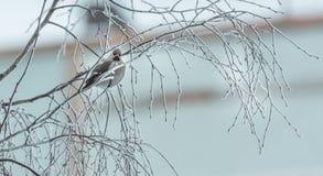 Pássaro irritado no inverno que senta-se em um ramo de árvore Fotografia de Stock