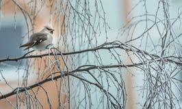 Pássaro irritado no inverno que senta-se em um ramo de árvore Fotografia de Stock Royalty Free