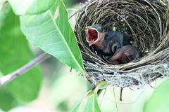 Pássaro irritado pequeno Foto de Stock Royalty Free