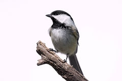 Pássaro isolado em um coto Fotos de Stock