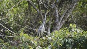 Pássaro juvenil da garça-real cinzenta (aves migratórias de Taiwan) filme