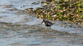 Pássaro Kentish da tarambola Fotografia de Stock Royalty Free