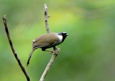 Pássaro (Laughingthrush Preto-throated), Tailândia Fotos de Stock Royalty Free