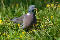 Pássaro - madeira pigeon1 Fotografia de Stock