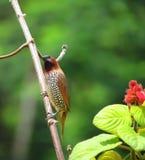 Pássaro marrom e branco manchado pouco do munia Foto de Stock Royalty Free