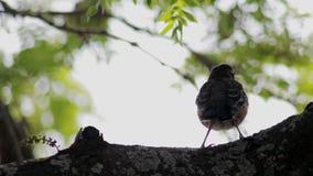 Pássaro marrom pequeno que senta-se em uma árvore filme
