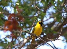 Pássaro masculino amarelo e preto brilhante do tecelão no ramo imagem de stock
