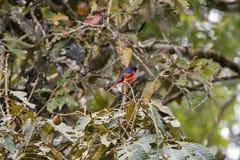 Pássaro masculino de Grey Chinned Minivet no preto com o oran avermelhado brilhante imagem de stock royalty free