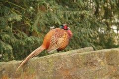 Pássaro masculino do faisão Imagens de Stock Royalty Free