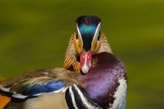 Pássaro masculino do galericulata do aix do pato de mandarino na plumagem de produção completa fotos de stock