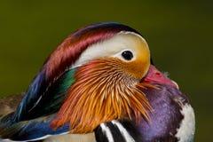 Pássaro masculino do galericulata do aix do pato de mandarino na plumagem de produção completa fotos de stock royalty free