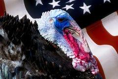 Pássaro masculino selvagem do peru com pele iridescente e a bandeira americana usadas como o fundo - gallopavo do Meleagris, Phas Fotos de Stock Royalty Free