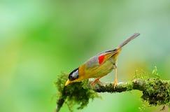 Pássaro (Mesia Prata-orelhudo), Tailândia Fotos de Stock Royalty Free