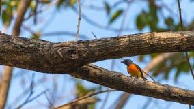 Pássaro (Minivet pequeno) em uma árvore foto de stock