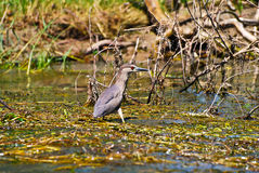 Pássaro na água Fotografia de Stock