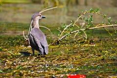 Pássaro na água Fotos de Stock Royalty Free