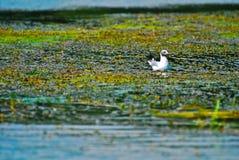 Pássaro na água com plantas Imagens de Stock Royalty Free