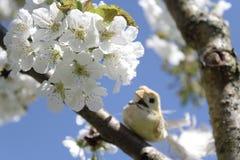 Pássaro na árvore de cereja de florescência fotografia de stock