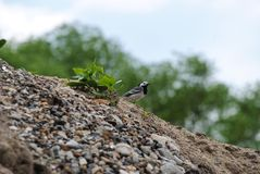 Pássaro na areia e nas pedras foto de stock royalty free