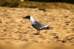 Pássaro na areia na praia em Porto Rico imagem de stock