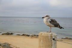 Pássaro na frente do mar na baía Califórnia de Monterey foto de stock