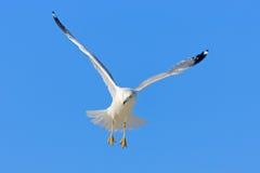 Pássaro na mosca com céu azul gaivota Anel-faturada, delawarensis do Larus, de Florida, EUA Gaivota branca em voo com asas aberta Fotos de Stock Royalty Free