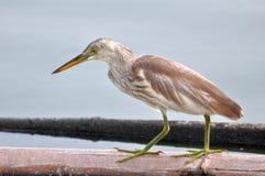 Pássaro na natureza (garça-real chinesa da lagoa) Fotografia de Stock Royalty Free