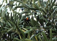 Pássaro na oliveira na máscara que senta-se em um ramo Fotos de Stock Royalty Free