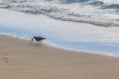 Pássaro na praia Fotos de Stock Royalty Free
