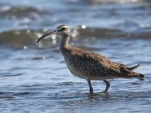 Pássaro na praia, Costa Rica da fusela imagens de stock