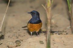 Pássaro na terra Fotografia de Stock