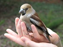 Pássaro nas mãos fotografia de stock