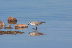 Pássaro necked vermelho da restrição [ruficollis do Calidris] Fotos de Stock Royalty Free