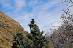 Pássaro nepalês da montanha fotos de stock royalty free