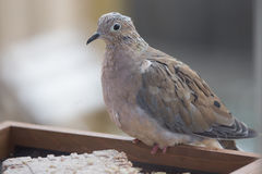 Pássaro no alimentador - pomba de lamentação Fotografia de Stock