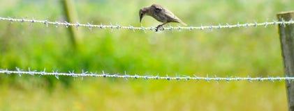 Pássaro no barbwire Fotos de Stock Royalty Free
