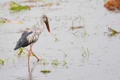 Pássaro no campo do arroz Fotos de Stock Royalty Free