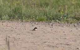 Pássaro no campo Pássaro do pardal na natureza foto de stock royalty free