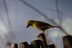 Pássaro no fio Fotos de Stock Royalty Free