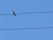 Pássaro no fio Foto de Stock Royalty Free