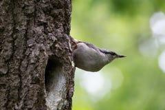 Pássaro no fundo verde O pica-pau-cinzento senta-se na casca de árvore perto do ninho e do olhar ao redor Europaea do Sitta na mo Fotografia de Stock Royalty Free
