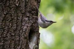 Pássaro no fundo verde O pica-pau-cinzento senta-se na casca de árvore perto do ninho e do olhar ao redor Europaea do Sitta na mo Imagens de Stock