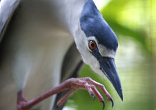 Pássaro no jardim zoológico do nacional de Malásia Foto de Stock