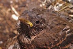 Pássaro no ninho Fotos de Stock Royalty Free