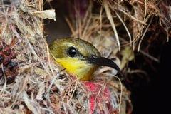 Pássaro no ninho Imagem de Stock Royalty Free
