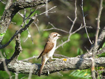 Pássaro no ramo Foto de Stock Royalty Free