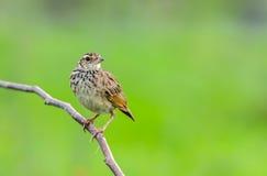Pássaro no ramo Imagens de Stock Royalty Free