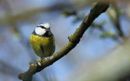 Pássaro no ramo Imagem de Stock Royalty Free