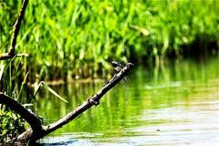 Pássaro no rio Imagens de Stock Royalty Free