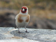 Pássaro no selvagem Imagem de Stock Royalty Free